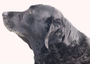 Relief For Dog With Pseudomonas Ear Infection