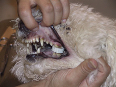 Lucky with mouth being held open and showing a bottle cap caught in the teeth