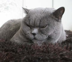 """Bluebird"" - British Shorthair with Three Slipped Discs"