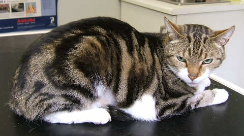 """Harvey"" - Cat with Gastric Lymphoma"