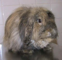 """George"" - Rabbit with Bordetella Infection"