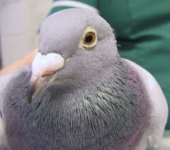 """Penny"" - Pigeon with Tight Leg Ring"