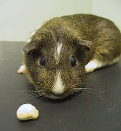 """Doris"" - Guinea Pig with Urinary Tract Stone"