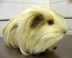 """Daisy"" - Guinea Pig with Polycystic Ovary Syndrome"