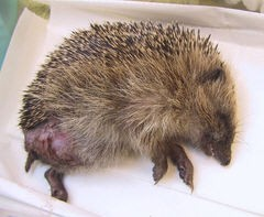 """H"" - Young Hedgehog with Amputated Leg"