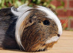 """Tex"" The Guinea Pig"