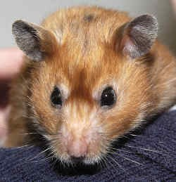 """Betty"" - Hamster with hair loss."