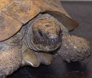 """Mandy"" - Tortoise with eye injury"