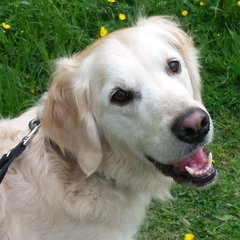 """Henry"" - Retriever with Cruciate Disease"