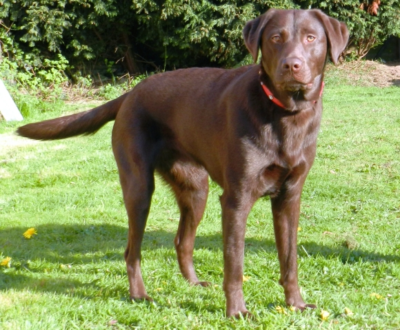 """Mia"" - Labrador with Genetic Joint disease"