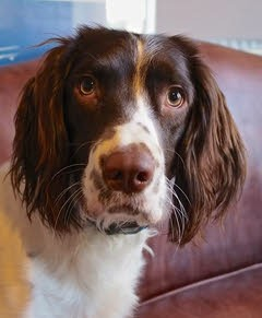 """Tess"" - Springer Spaniel with Hip Dyspasia"