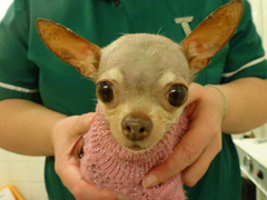 """Porcha"" - Chihuahua with Grade 4 Luxating Patella"
