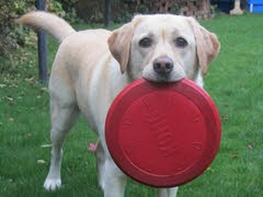 """Jack"" - Golden Labrador with Progressive Retinal Atrophy"