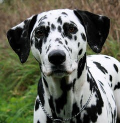 """Jack"" - Dalmation with Mast Cell Tumour"