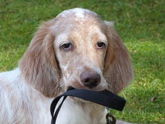 """George"" - English Setter Puppy needs a Healthy Environment"