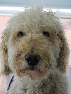"""Poppy"" - Poodle in Road Traffic Accident"