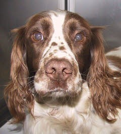 """Teal"" Springer Spaniel with Arthritis and possible IOHC"