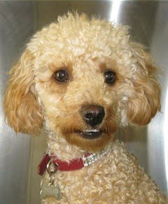 "Tia"" - Toy Poodle with Ischaemic Necrosis of the Femoral Head"