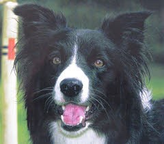 """Holly"" - Collie with Fibrosarcoma"