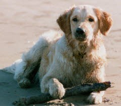 """Charlie"" - Golden Retriever with Subcutaneous Haemangiosarcoma"