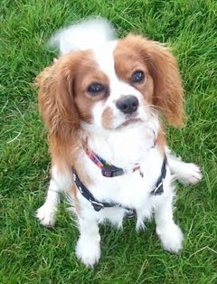 """Marley"" - Cavalier KC swallowed a tack"
