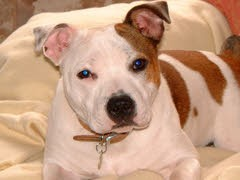 """Rosie"" - Staffie with Lymphangiectasia"