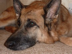 """Martha"" - GSD with Gastric Volvulus"