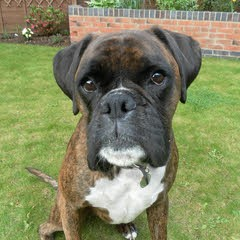 """Max"" - Boxer with Fibrocartilaginous Embolism"