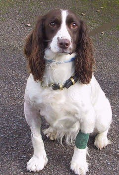 """Polly"" - Springer Spaniel with Fractured Elbow"