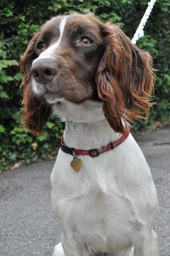"""Rosie"" - Springer whose Survival was a Miracle"