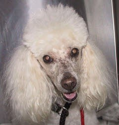 """Bobby"" - Miniature Poodle with Testicular Cancer"