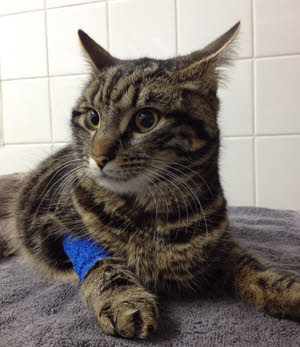 """Tigger"" - Cat in Traffic Accident"