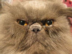 Henry - Persian Cat with Meibomian Gland Disease